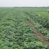 Chuyển đất trồng lúa sang màu: Cẩn trọng đầu ra sản phẩm