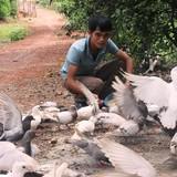 Trang trại bồ câu, gà cỏ bạc tỷ của cử nhân 26 tuổi