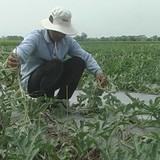 Ba hộ dân bị cắt hơn 2.000 gốc dưa hấu