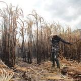 Mía chết cháy do nắng hạn, nông dân bị nhà máy phạt!