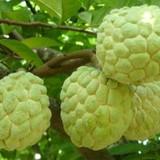 Na không hạt trái nặng tới 1kg được ưa chuộng