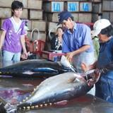 Vì sao cá ngừ Nhật Bản đắt gấp 10 lần cá Việt Nam?