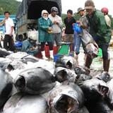 Phát triển sản xuất cá ngừ theo chuỗi