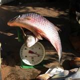 Cá anh vũ Campuchia ươn thối về Việt Nam làm đặc sản