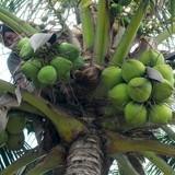 20.000 đồng 12 trái dừa xiêm Bến Tre