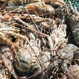 Dân đảo Lý Sơn mất tiền tỷ vì tôm hùm nuôi chết hàng loạt