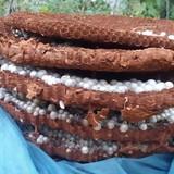 Thương lái Trung Quốc lùng mua tổ ong đất 10 kg ở Lào Cai