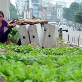 Người Hà Nội thi nhau... trồng rau dưới công trình đường sắt trên cao Cát Linh - Hà Đông