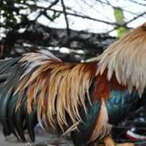 """Tỷ phú gà Tân Châu và """"chiêu độc"""" luyện gà tre hàng chục triệu đồng"""