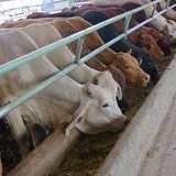 HAGL mua bò ngoại cho nông dân vỗ béo