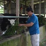 Nuôi bò, trồng rau VietGAP thu tiền tỷ