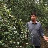 Kiếm tiền tỷ từ giống táo Xuân