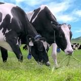 Bí ẩn đại gia thâu tóm sữa Mộc Châu