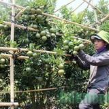Thu nhập tiền tỷ từ vườn cam, quýt trái vụ