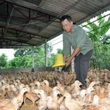 """Cho nhập khẩu gà Trung Quốc là """"giết"""" người chăn nuôi"""