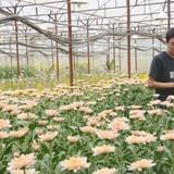 Trang trại hoa cúc ở thung lũng Đà Lạt của giám đốc người Nhật