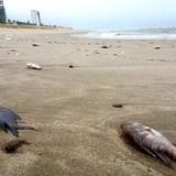Cá chết trắng bờ biển miền Trung - những câu hỏi lớn không lời đáp