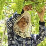 Người trồng nho xanh VietGAP lãi lớn