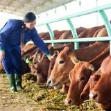 Chấm dứt hoạt động dự án nuôi bò nghìn tỷ của Hoàng Anh Gia Lai