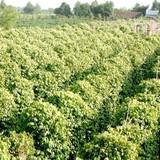 Gia Lai thu hồi 50ha đất trồng tiêu của Hoàng Anh Gia Lai