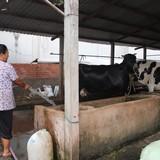 Nông dân nuôi bò Củ Chi gửi sữa cho người thân tắm