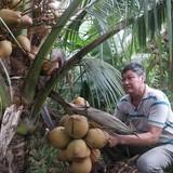 Làm giàu từ cây dừa Mã Lai