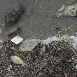 Hà Nội: Xuất hiện cá chết bất thường ven hồ Tây