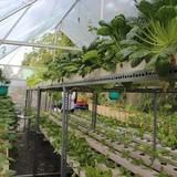 Nông trại rau hữu cơ 5 tỷ giữa phố nhà giàu ở Sài Gòn