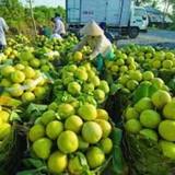 Hoa quả đặc sản - lại bị thương lái Trung Quốc ép giá