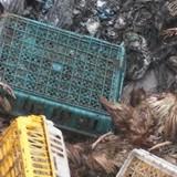 Gà thối giá 6.000 đồng/kg tuồn vào Việt Nam
