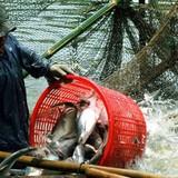 """Loạn thị trường cá tra Miền Tây do có """"bàn tay"""" thương lái Trung Quốc"""