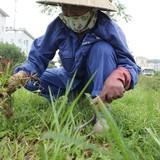 Hà Nội: Mỗi năm bỏ 700 tỷ đồng cắt cỏ là... có vấn đề