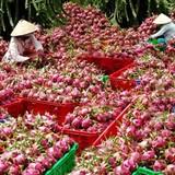 Xử phạt nhiều thương lái Trung Quốc thu mua thanh long trái phép