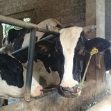 Dân bán bò sữa hàng loạt vì giá sữa rẻ hơn nước lọc