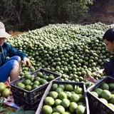 Mùa cam sành Hàm Yên giúp nhiều gia đình trở thành tỷ phú