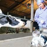 """""""Bán tống bán tháo"""" bò sữa vì doanh nghiệp ép giá?"""
