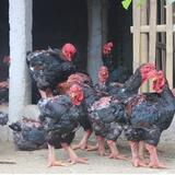 """""""Vua"""" gà xứ Thanh thu tiền tỷ mỗi năm nhờ nuôi """"gà tiến vua"""""""