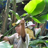 Vùng trồng lá dong lớn nhất Đồng Nai hối hả thu hoạch Tết