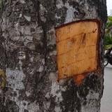 Làm rõ vụ đục khoét vỏ hàng chục cây xà cừ ở Hà Nội