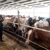 """""""Vua chuối"""" kiếm triệu đô nhờ vỗ béo bò Úc"""