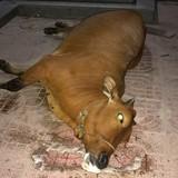 """Dân mang bò chết đến """"vây"""" khu chung cư"""