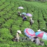 Chè Việt Nam chưa có thương hiệu riêng dù xuất khẩu đứng thứ 5 thế giới