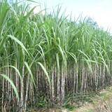 Gia Lai tạm dừng chuyển đất trồng cao su sang trồng mía của Hoàng Anh Gia Lai