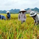 Dành 8.000 tỷ đồng tín dụng ưu đãi thu mua tạm trữ gạo