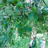 Bộ NNPTNT báo cáo Thủ tướng: Chỉ nên trồng 10.000 ha mắc ca