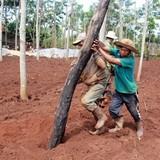 Chặt cà phê, lấp ao, phá sân patin lấy đất trồng tiêu