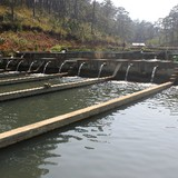 Nghề nuôi cá tầm ở Lâm Đồng có nguy cơ đổ vỡ