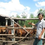 Thu nhập khủng nhờ nuôi bò