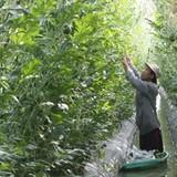 Trồng dưa hấu lấy nụ thu lợi nhuận gần 100 triệu đồng/ha