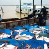 """Việt Nam cung cấp """"độc quyền"""" cá tra tại Anh"""